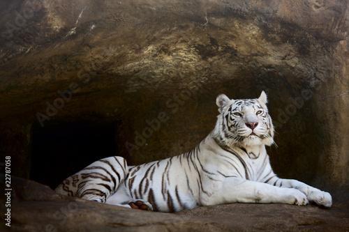 Canvas Print White Tiger