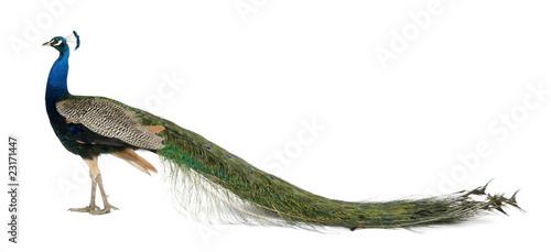 Fototapeta premium Profil męski paw indyjski przed białym tle