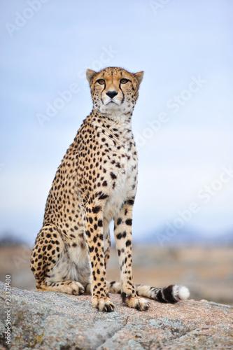 Obraz na płótnie Cheetah 15