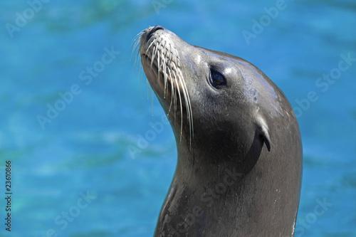 Fototapeta premium Sea lion