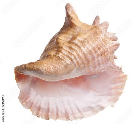 Billede på lærred Conch Shell