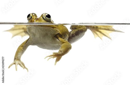 Fototapeta green pond frog swimming isolated on white