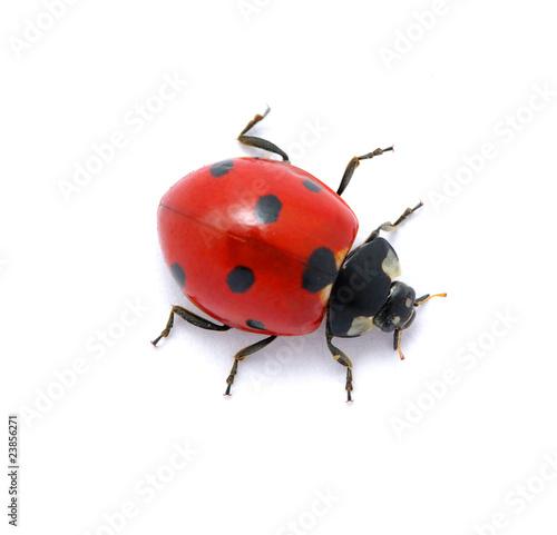 Ladybug on  white Fototapeta