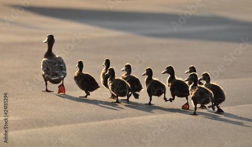 Fotografering Ducks