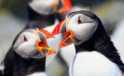 Fotografie, Obraz Atlantic Puffins with Beaks Open