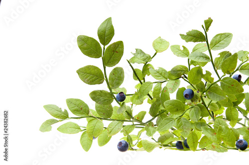 Fotografija Bilberries and the branch of an bilberry bush
