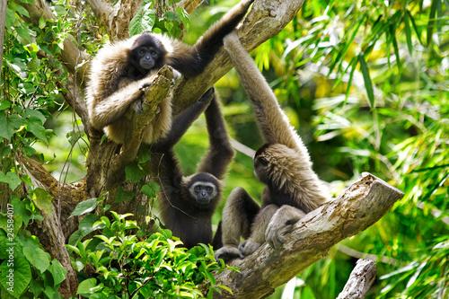 Valokuvatapetti Gibbon monkey