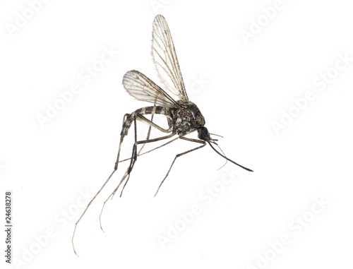 small mosquito isolated on white
