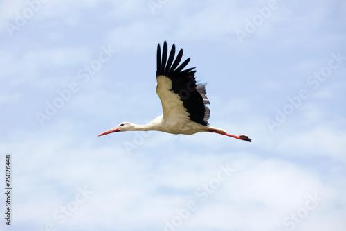 Fotografia Stork flying