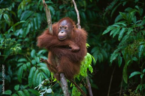 Fototapeta premium Młody orangutan na drzewie