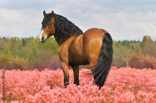 bay stallion on the pink field
