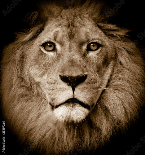 Lion portrait #25397266