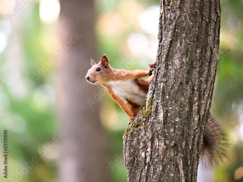 Fototapeta Squirrel sitting on the tree