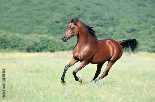 beautiful brown arabian horse running gallop on pasture #25513463