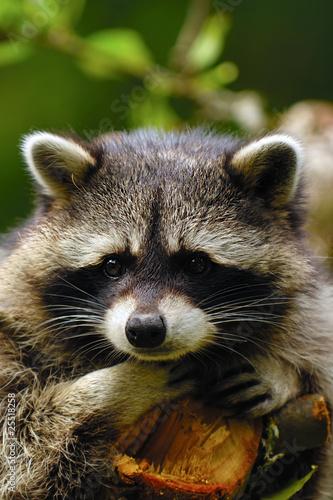 Canvas Print Sad raccoon