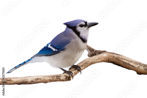Wallpaper Mural watchful bluejay on a branch