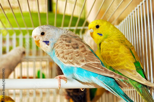 Canvas Print blue and yellow budgerigars