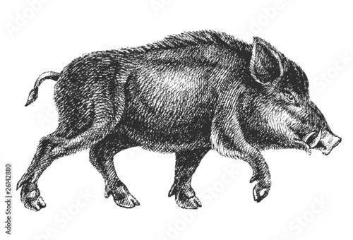 Fototapeta boar drawing professional vector