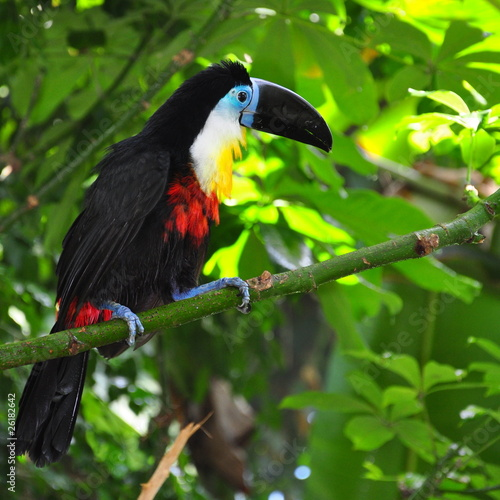 Beautiful toucan sitting on the branch #26182642
