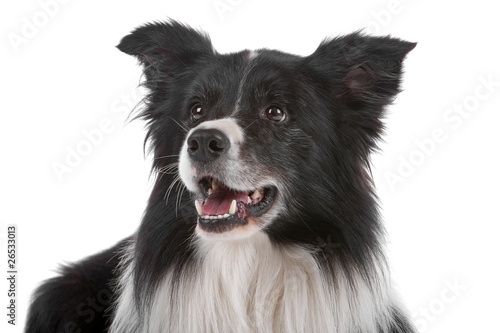 Fotomural Head of border collie dog isolated on a white background
