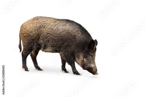 Stampa su Tela Wildschweine 13.1
