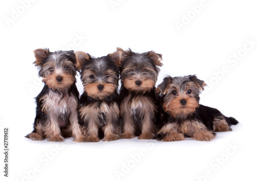 Canvas Print Yorkshire terrier puppy on white background