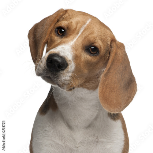 Fototapeta Beagle puppy, 6 months old, in front of white background