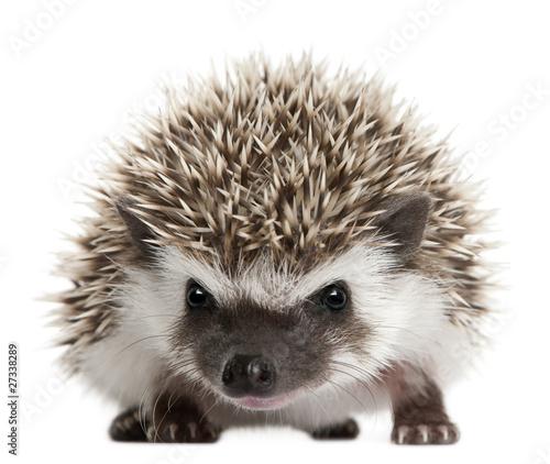 Fotografia, Obraz Four-toed Hedgehog, Atelerix albiventris, 3 weeks old