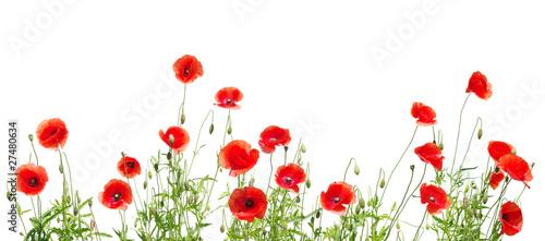 Fototapeta premium czerwone maki na białym tle