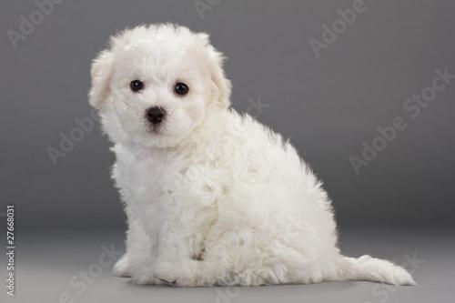 Fotografering Bichon Frise puppies