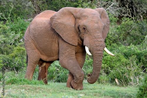 Fototapeta premium Byk słonia afrykańskiego