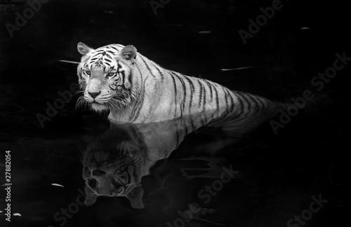 Wallpaper Mural White tiger