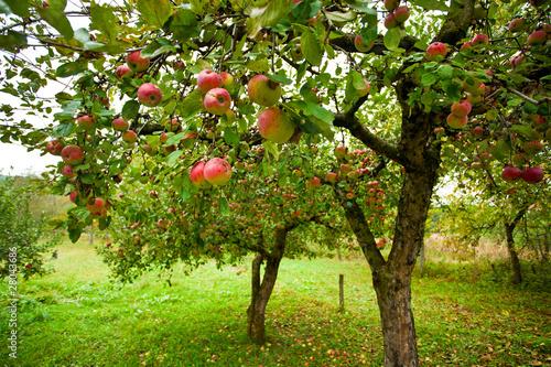 Obraz na płótnie Apple trees with red apples