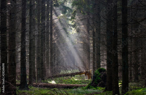 Valokuva Firebreak with fallen trees in a pine forest, lit by sun rays