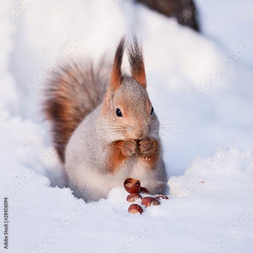 Fototapeta Squirrel on the snow with a hazelnut