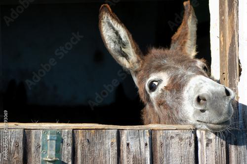 Canvas Print Funny Donkey