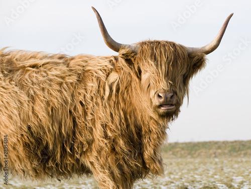 Stampa su Tela Scottish Highlander