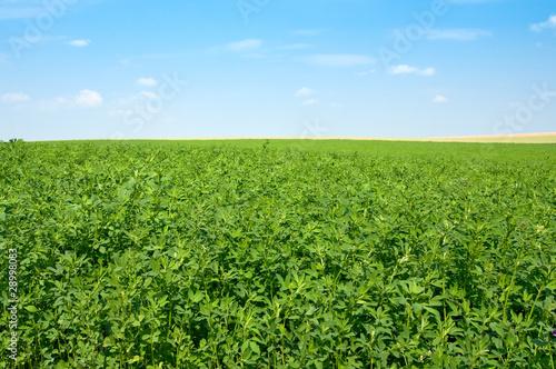 Fotografie, Obraz green lucerne field  blue sky