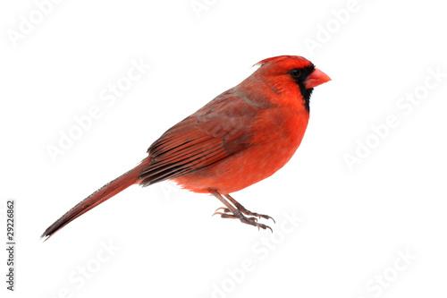 Fotografía Isolated Cardinal On White