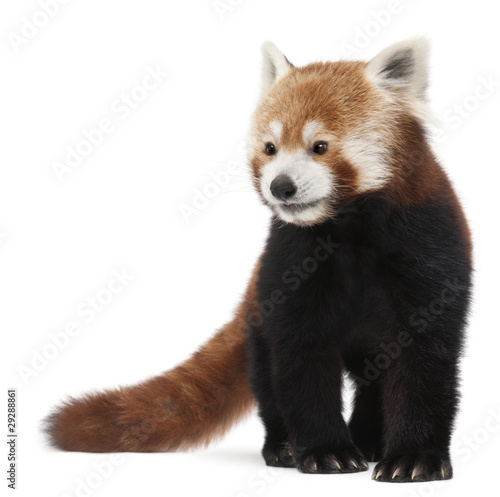 Old Red panda or Shining cat, Ailurus fulgens, 10 years old Fototapeta