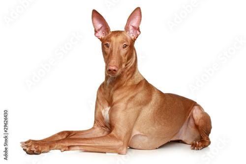 Fototapeta Pharaoh hound lying on a white background