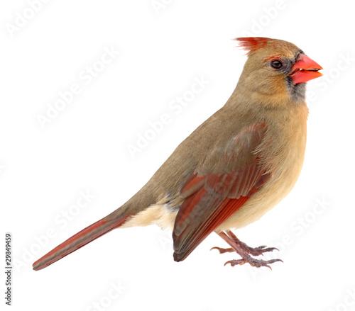 Fotografía Northern Cardinal, Cardinalis cardinalis, isolated