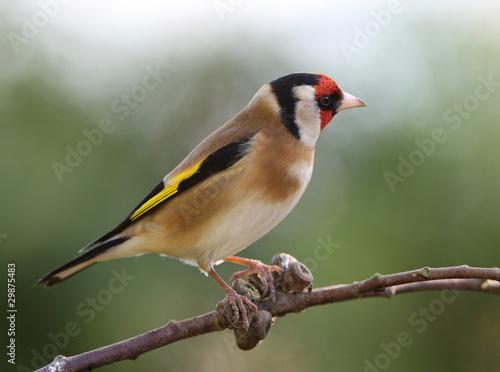 Valokuvatapetti Portrait of a Goldfinch