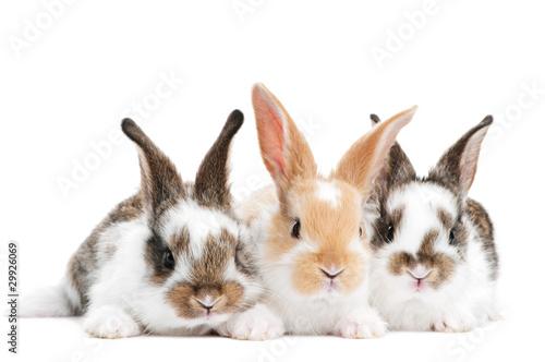 three young baby rabbit isolated Fototapeta