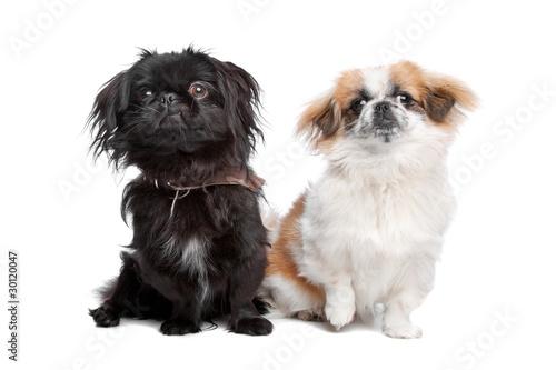 Canvas Print Japanese Chin and a pekingese dog