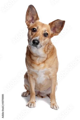 Photo mixed breed, dingo