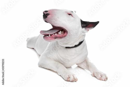 Carta da parati Bull Terrier