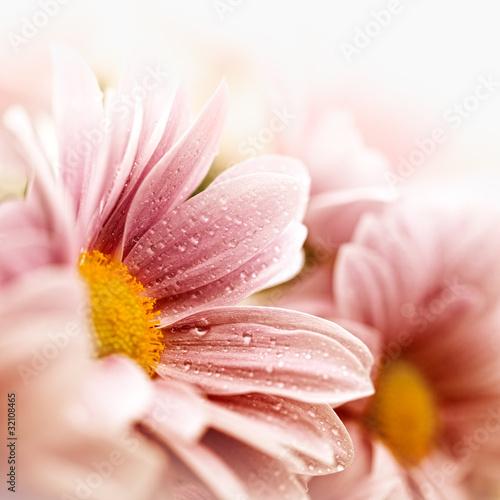 Beautiful daisy flowers closeup