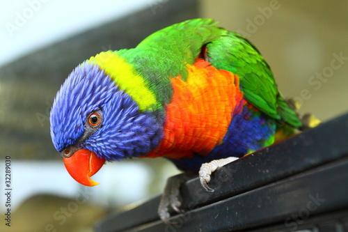 Stampa su Tela Australian Bird