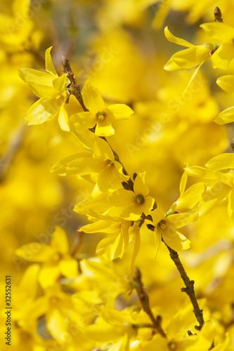 Fotografie, Tablou Yellow blossoms of forsythia bush